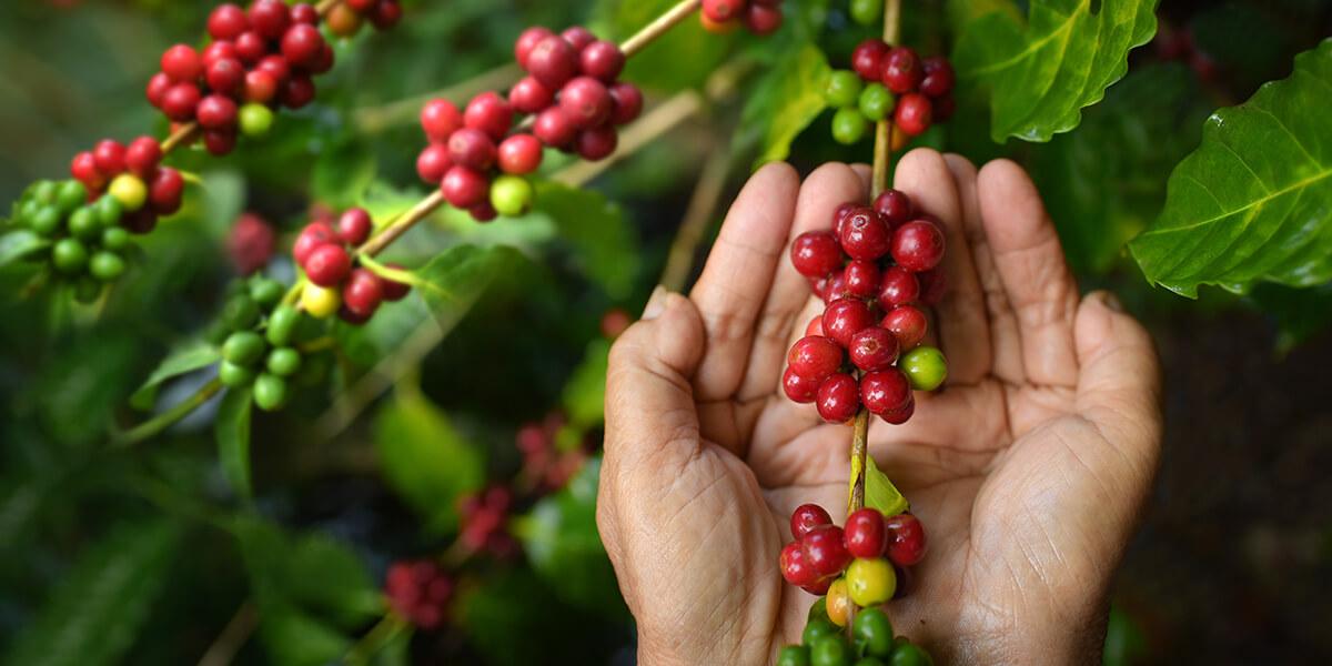 Cafè ecològic sostenible